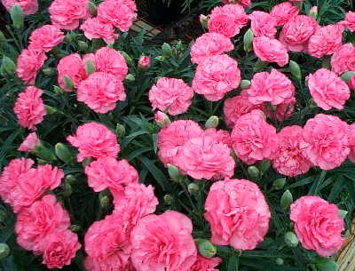 Carnations For Sale