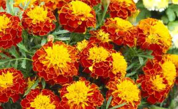 Heirloom Marigold Flower Seeds   Flowerseedstore.com