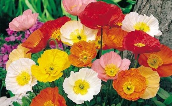 Poppy seeds for sale buy in bulk or by the packet iceland poppy seeds mightylinksfo