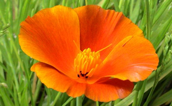 California Poppy (Orange) Seeds - 1/4 Pounds