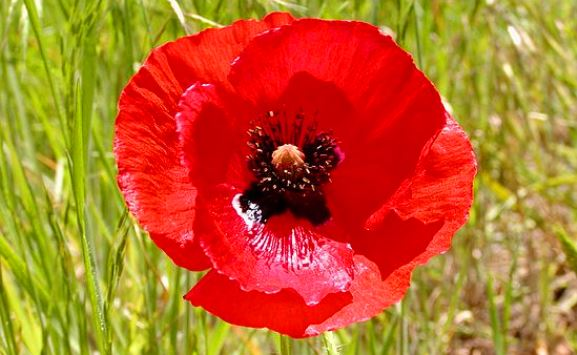 Red Corn Poppy Seeds - Ounce