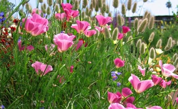 California Poppy Seeds - Purple Gleam