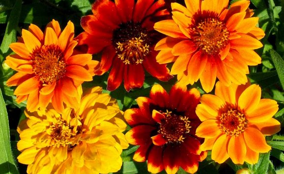 Zinnia Seeds For Sale Buy In Bulk Or By The Packet