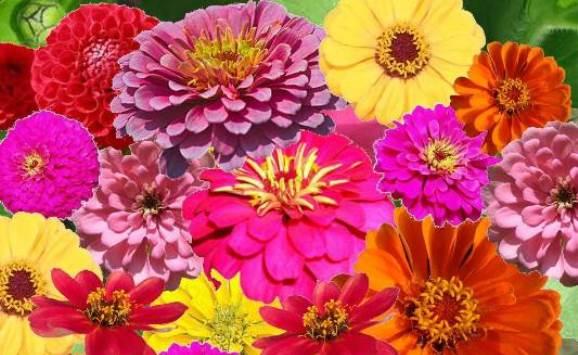 Zin Master - Zinnia Flower Seed Mix