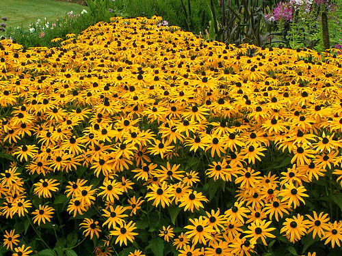 Black Eyed Susan Seeds - Rudbeckia hirta - Ounce