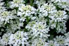 Candytuft Seeds (Heirloom)