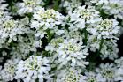Candytuft Seeds (Heirloom)