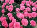 Carnation Seeds (Heirloom)