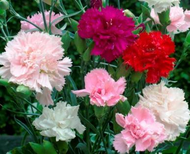 Carnation Seeds - Chabaud Mix