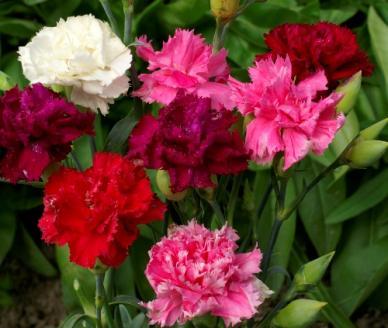 Carnation Seeds - Enfant de Nice Mix
