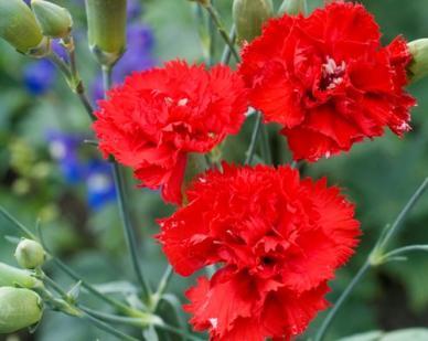 Carnation Seeds - Etincellant
