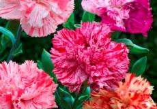 Carnation Seeds - Picotee Mix