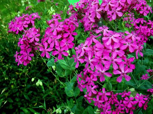 Catchfly Flower Seeds Flowerseedstore Com