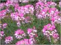 Cleome Seeds (Heirloom)
