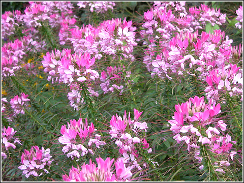 Cleome - Spider Plant Seeds - Mixed Colors - Packet