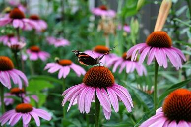 Purple Coneflower Seeds (Echinacea) - 1/4 Pound