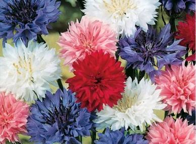 Cornflower / Bachelor Button Seeds - Dwarf Mix - Ounce