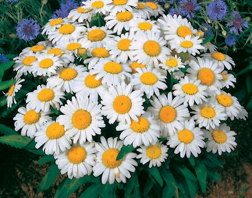 maru love and yellow daisies essay The language of flowers,  particularly of love and lovers in the song of songs,  and yellow roses stand for friendship or devotion.