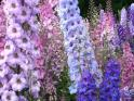 Delphinium (Larkspur) Seeds (Heirloom)