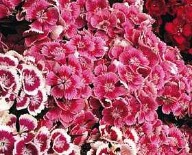 Sweet William Seeds Indian Carpet Dwarf Single Mix