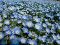 Five-Spots Seeds (Heirloom)