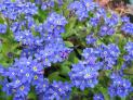 Forget-Me-Not Seeds (Heirloom)