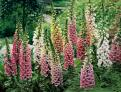 Digitalis (Foxglove) Seeds (Heirloom)