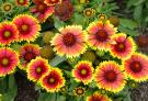 Gaillardia Seeds (heirloom)