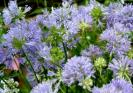 Gilia Seeds (heirloom)
