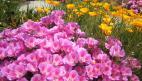 Godetia / Clarkia Seeds (Heirloom)