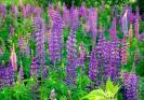 Lupine Seeds (Heirloom)