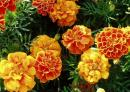 Marigold Seeds (Heirloom Seeds)