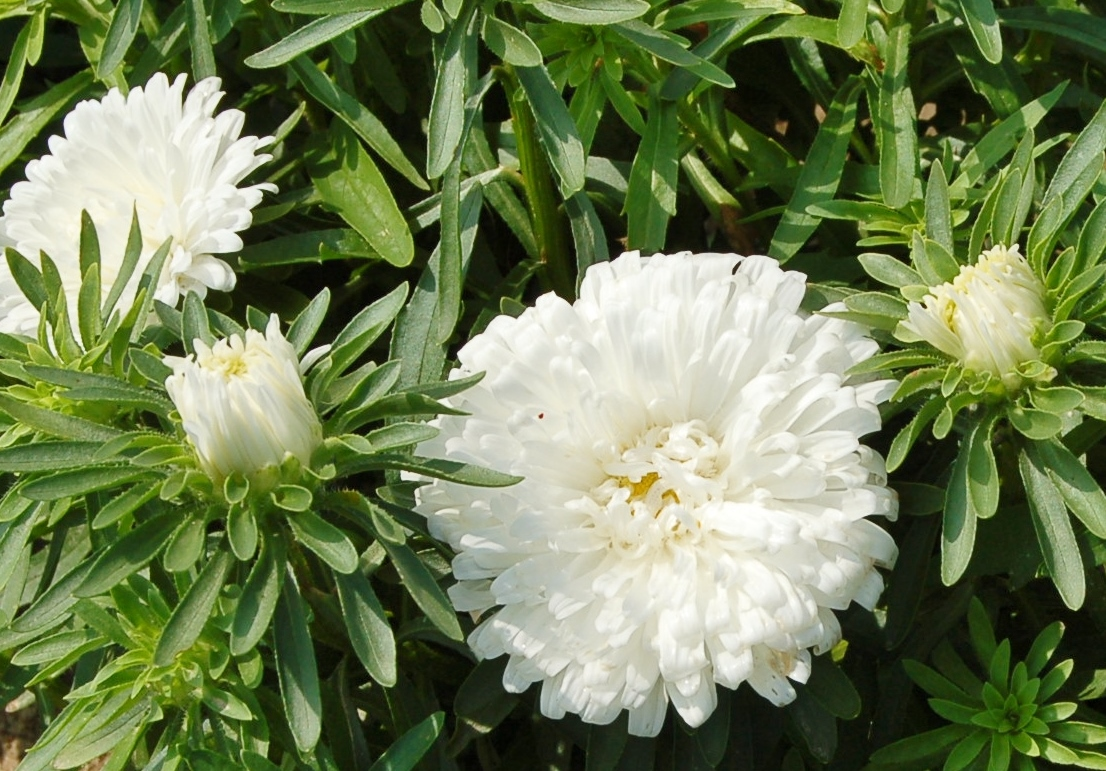 Aster Seeds Dwarf Colour Carpet White