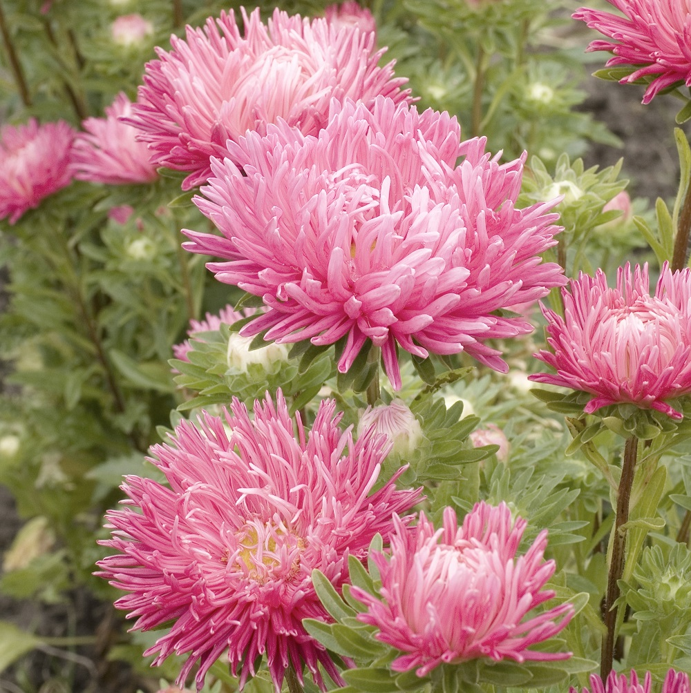 Aster Seeds (Semi-Dwarf) - Jewelaster Rose
