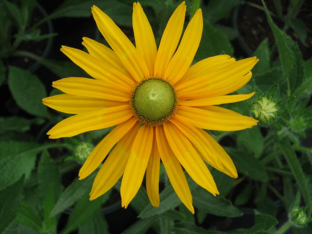Black eyed susan seeds green eyes mightylinksfo