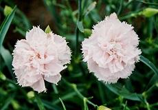 Carnation Seeds - La France