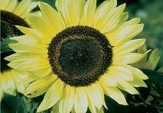 Sunflower Seeds - Sunset Lemon