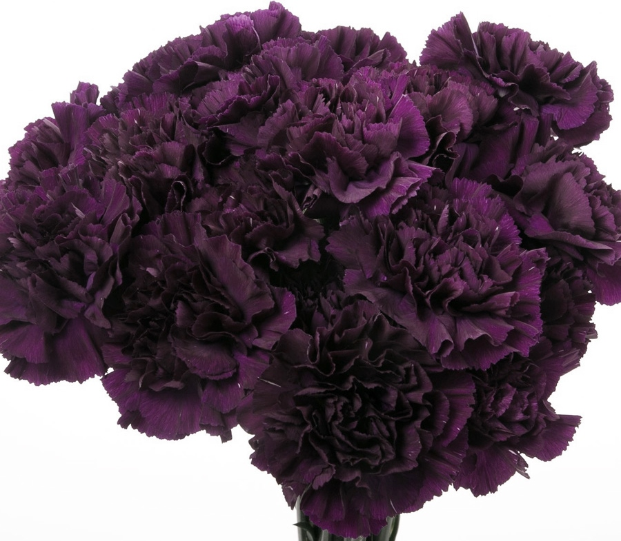 Carnation Seeds - Grenadin King of Blacks