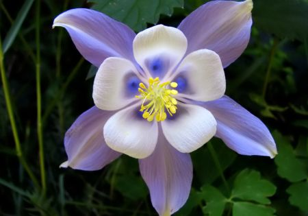 heirloom columbine flower seeds  flowerseedstore, Beautiful flower