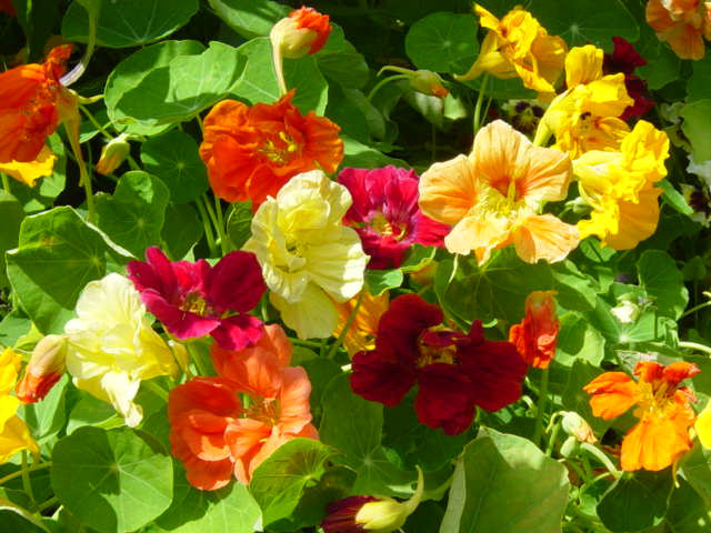 Nasturtium Seeds (Dwarf) - Jewel Mix - Packet
