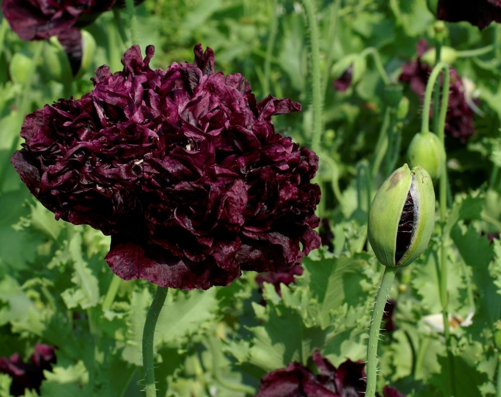 poppy somniferum seeds double black