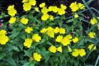 Primrose Seeds (Heirloom)