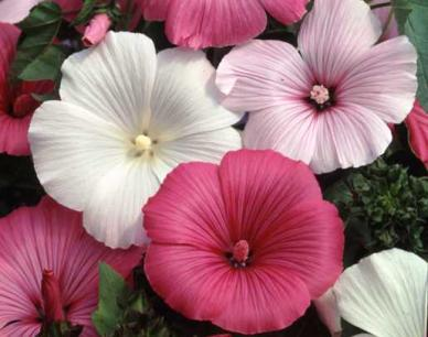 Rose Mallow / Tree Mallow Seeds - Mixed Colors - Ounce
