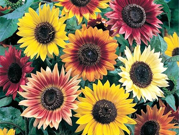 Sunflower Autumn Beauty o.jpg