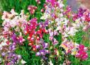 Toadflax/Spurred Snapdragon Seeds