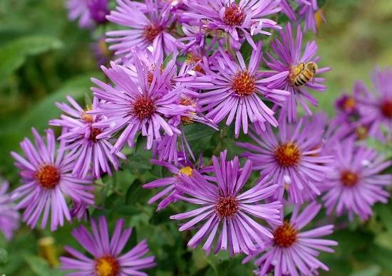 New England Aster Seeds- Ounce