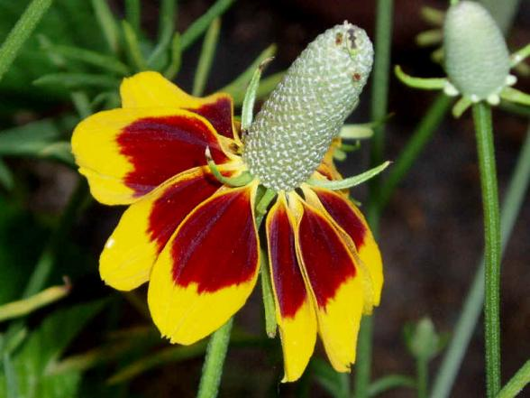 Mexican Hat Seeds
