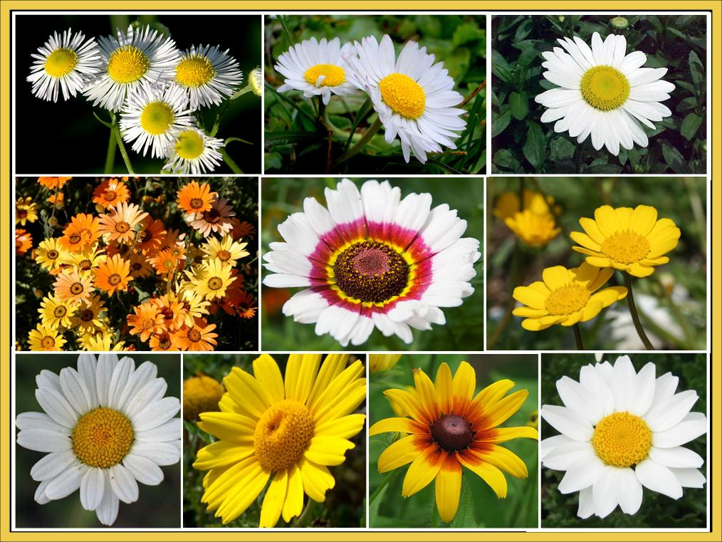 Daisy Crazy - Daisy Flower Seed Mix