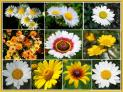 Daisy Flower Seed Mix