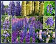 Lupine Flower Seed Mix
